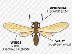 ant-vs-termite_ant